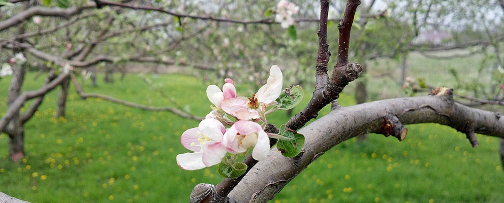 canton-apple-tree-blossum-orchard-r1